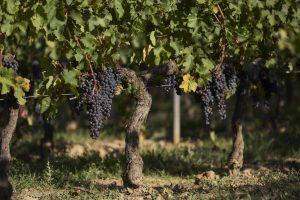 Domaine viticole - Vignoble bordelais - Détails grappe de raisins - Thierry Pousset - photographe professionnel - Bordeaux - Nouvelle aquitaine - Gironde - Photo de la récolte