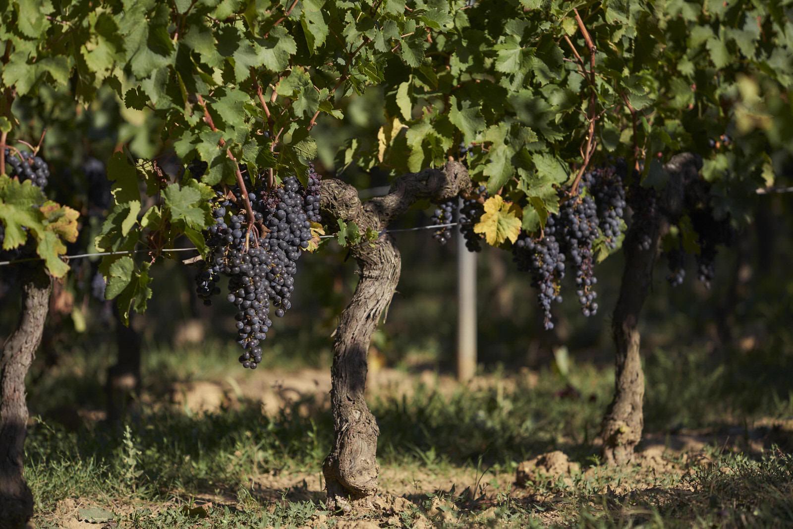 Reportage photo - Domaine viticole 4